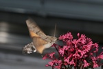 Duehale (Macroglossum stellatarum)